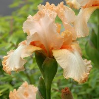 Photo - Flowers - Mom's Iris