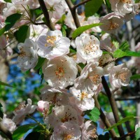Photo - Flowers - Pear Blossoms
