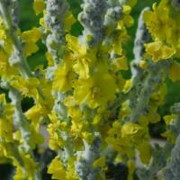 Photo - Flowers - Cotton