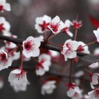 Photo - Flowers - Spring Tree
