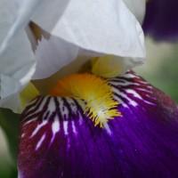 Photo - Flowers - Irui Dream