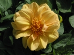 Photo - Flowers - Yellow Dahlia