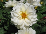 Photo - Flowers - White Dahlia