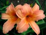 Photo - Flowers - Twins