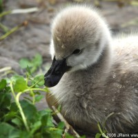 Photo - Places - Little Black Swan