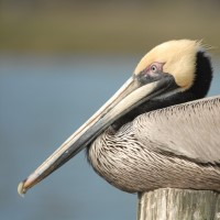 Photo - Places - Old Grumpy Pelican
