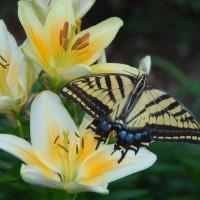 Photo - Places - Monarch Butterfly